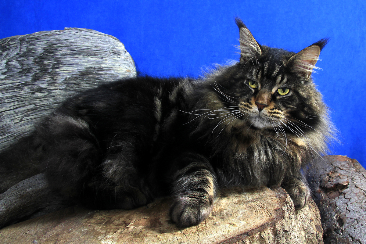 Extreme maine coon cat Vancouver