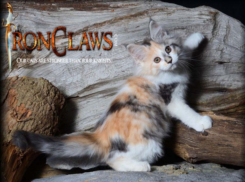 adorable-maine-coon-kitten-for-sale-surrey-bc-canada