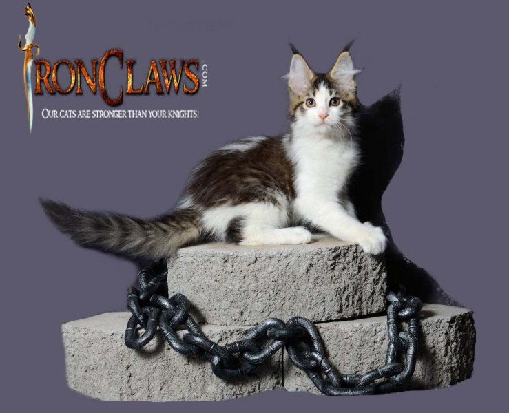 brown-and-white-maine-coon-kitten-for-sale-vancouver-bc