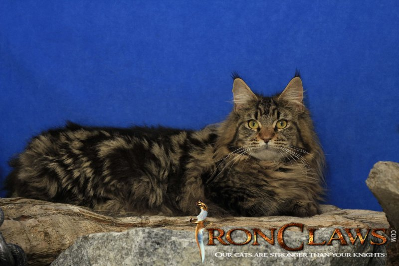 brown-classic-maine-coon-image