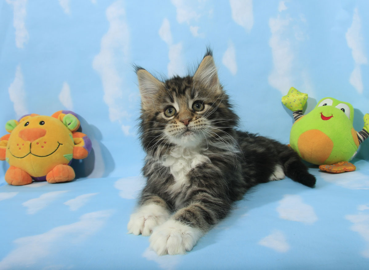 brown classic maine coon kitten toronto