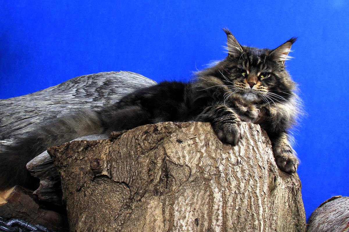 brown classic maine coon