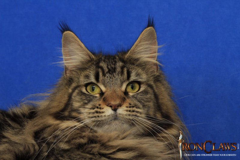 brown-maine-coon-image