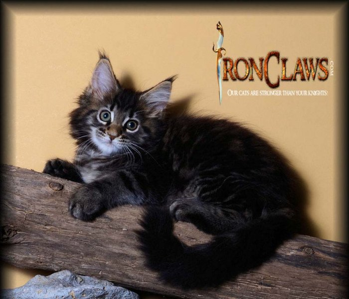 brown-maine-coon-kitten-for-sale