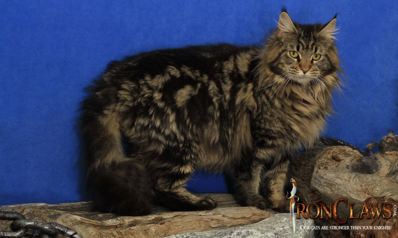 brown-maine-coon-kittens-for-sale-canada-british-columbia