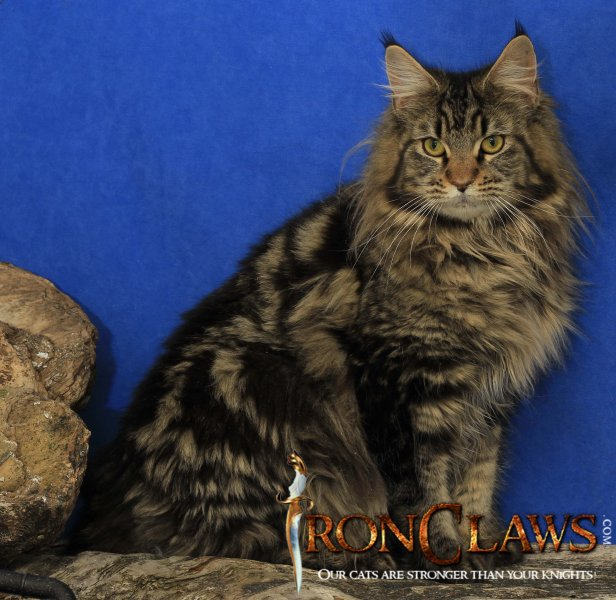 brown-maine-coon-wild-look