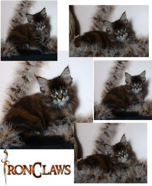brown-patch-maine-coon-cat-for-sale-texas-usa
