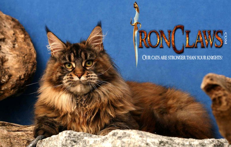 brown-patch-maine-coon-huge-cat_1