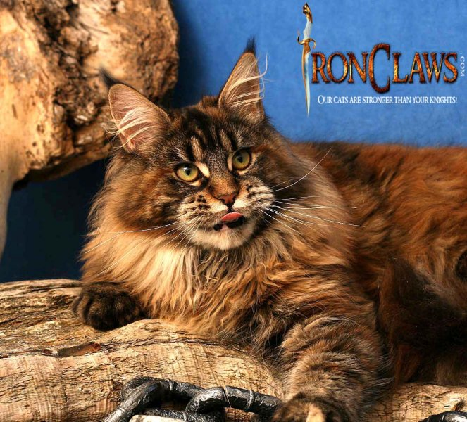 brown-patch-maine-coon-kitten-image_1