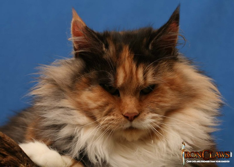 brown-patch-polydactile-maine-coon_0
