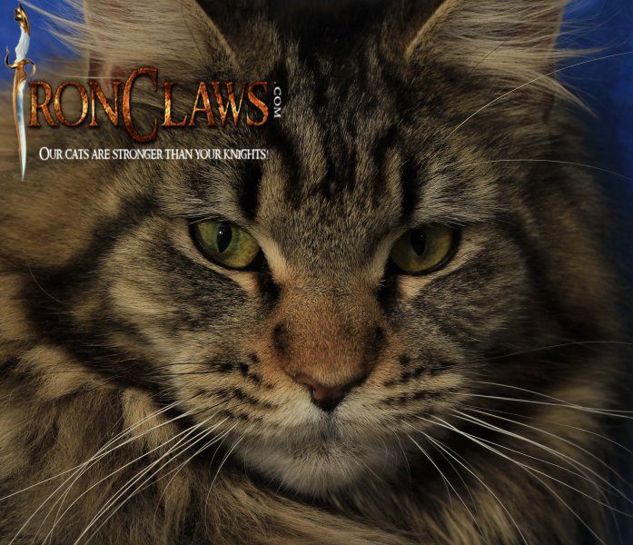 brown-tabby-maine-coon-kitten-for-sale-image-pictures