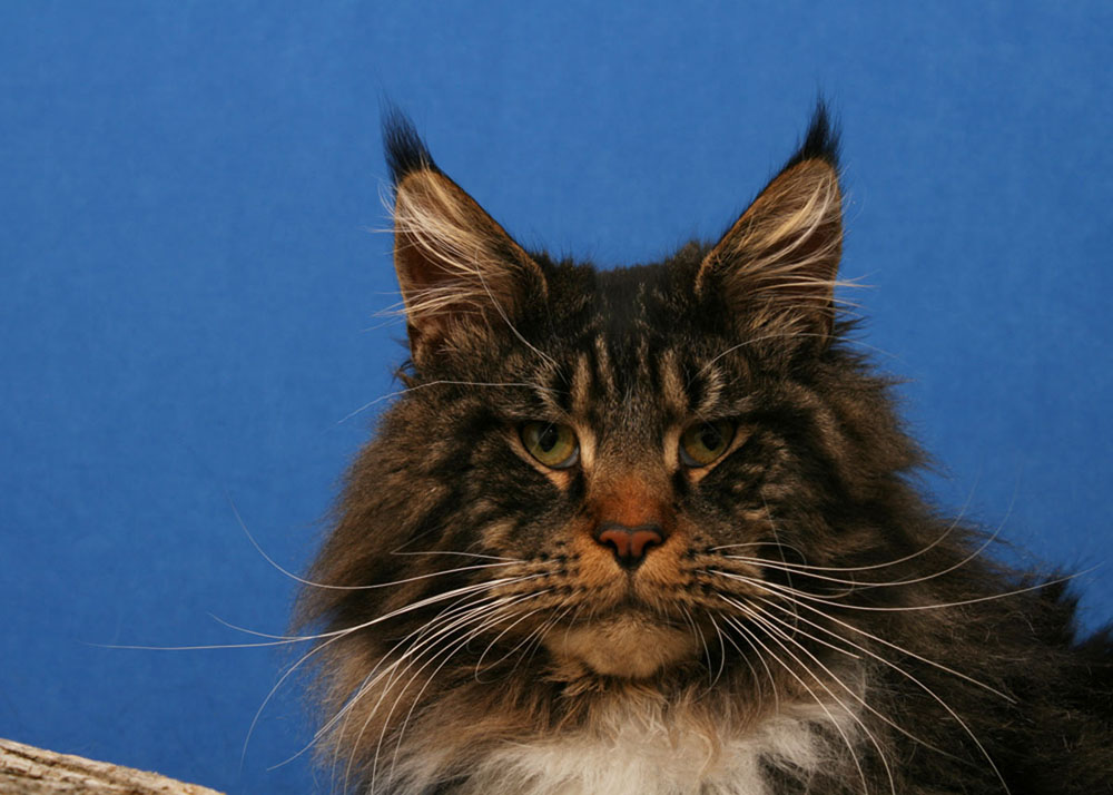 brownclassic extreme maine coon for sale