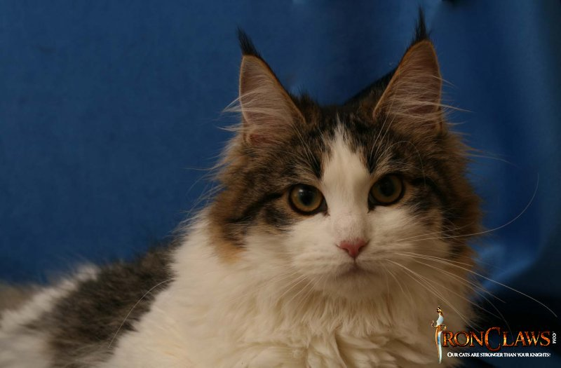 high-white-maine-coon-cat-image