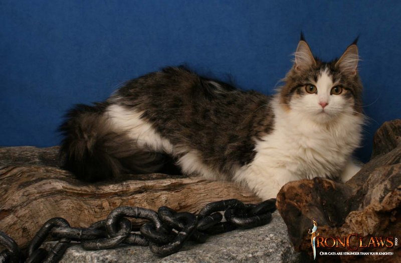 high-white-maine-coon-cat