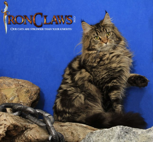 large-maine-coon-image