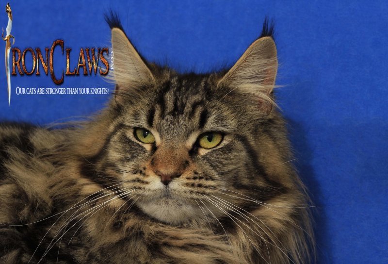 maine-coon-cats-for-sale