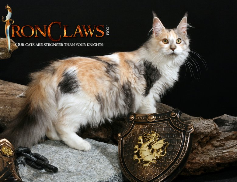 Maine Coon Kittens For Sale Seattle Maine coon seat...