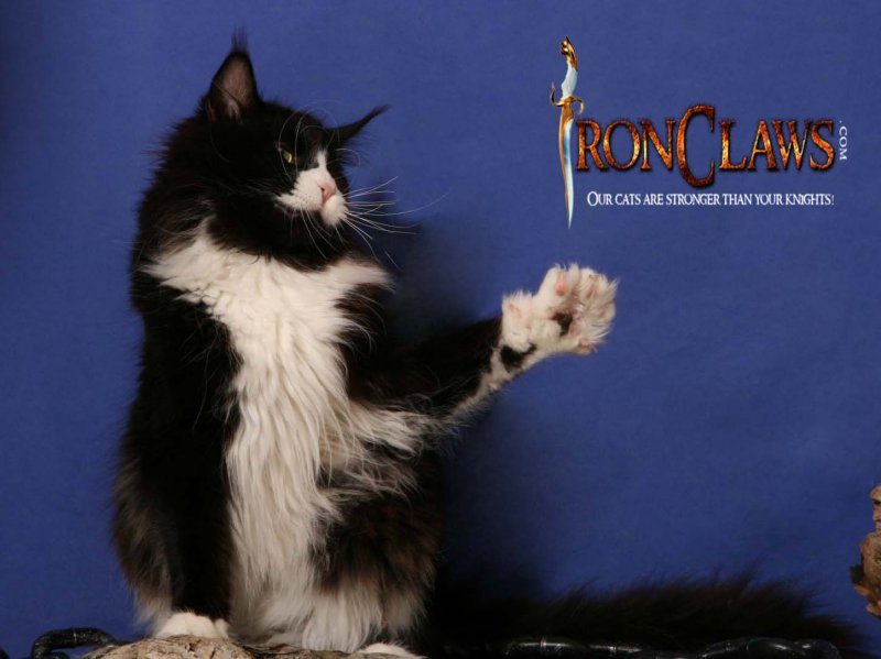 maine-coon-kitten-playing-image