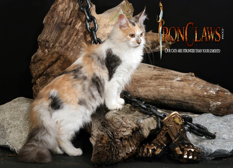 maine-coon-kitten-red-tabby-for-sale-washington