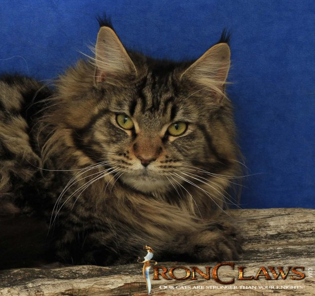 maine-coon-kittens-for-sale-british-columbia