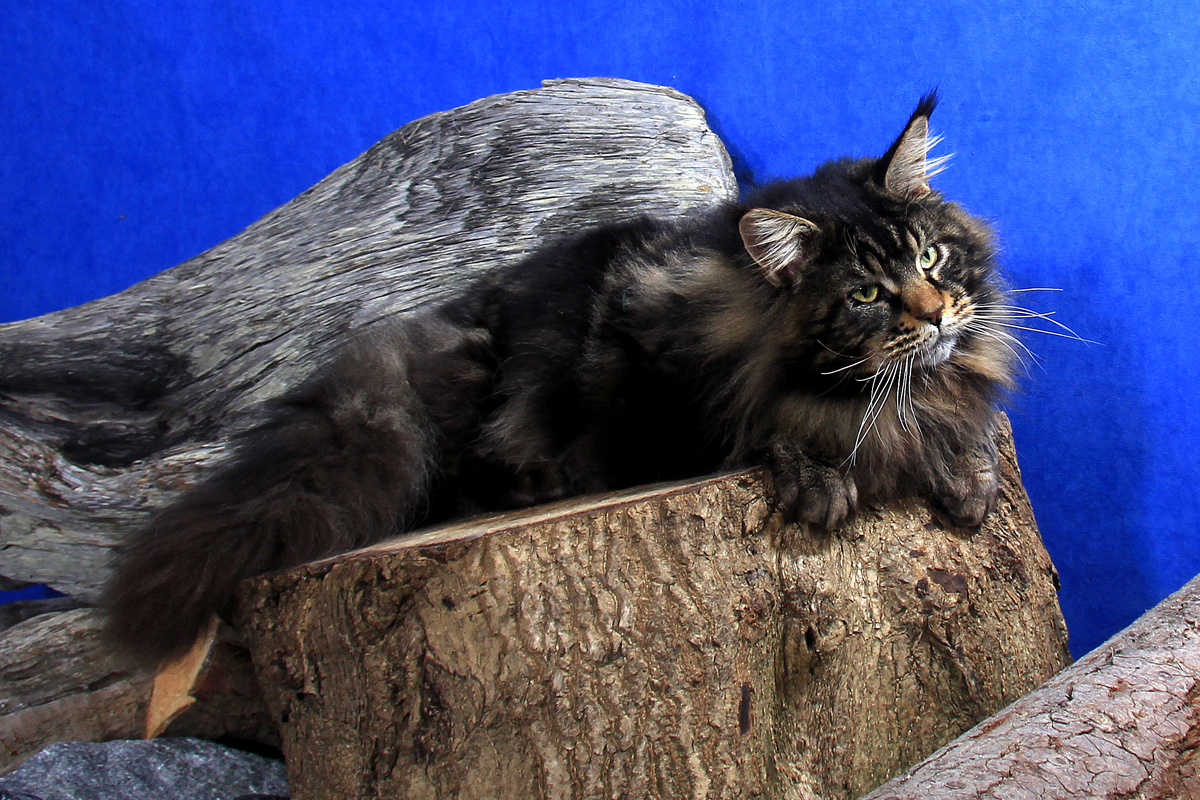 maine coon kittens for sale canada