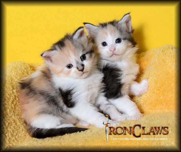 maine-coon-kittens-for-sale-image-canada-british-columbia