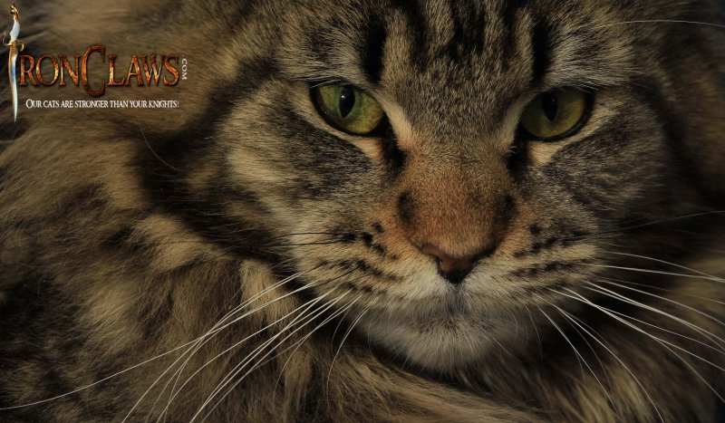 maine-coon-kittens-for-sale