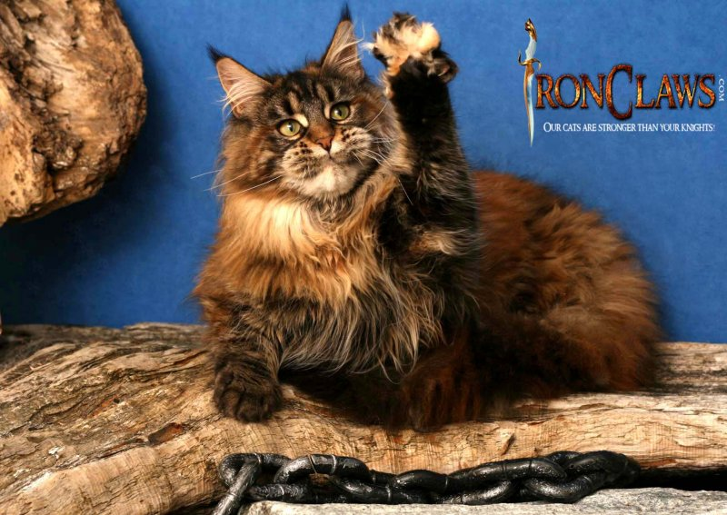 mainecoon-cat-playing_1