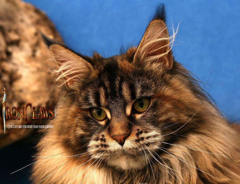 mainecoon-imagebrown-cat_1