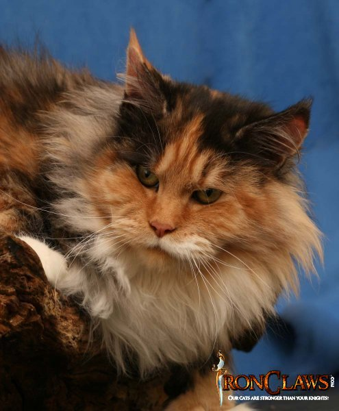 poly-maine-coon-cat_0