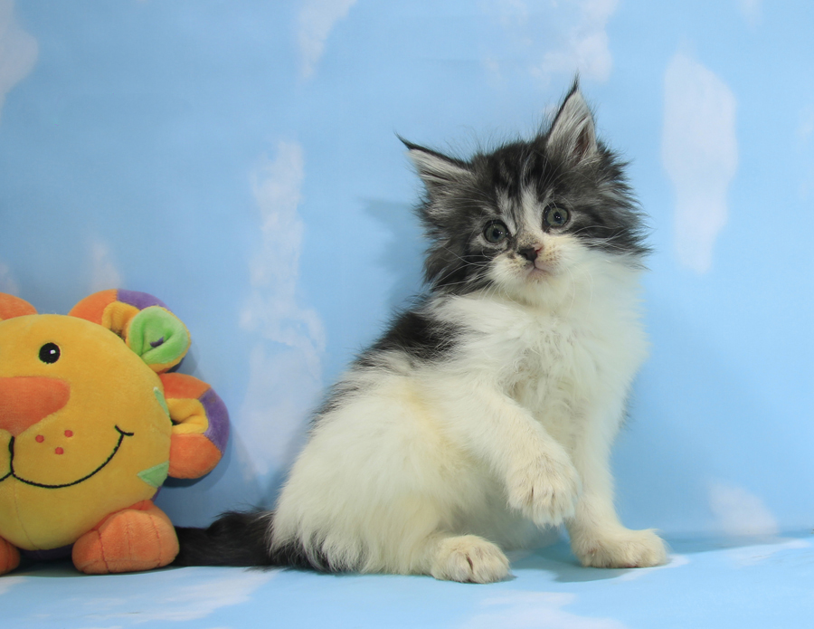 silver maine coon kitten for sale vancouver