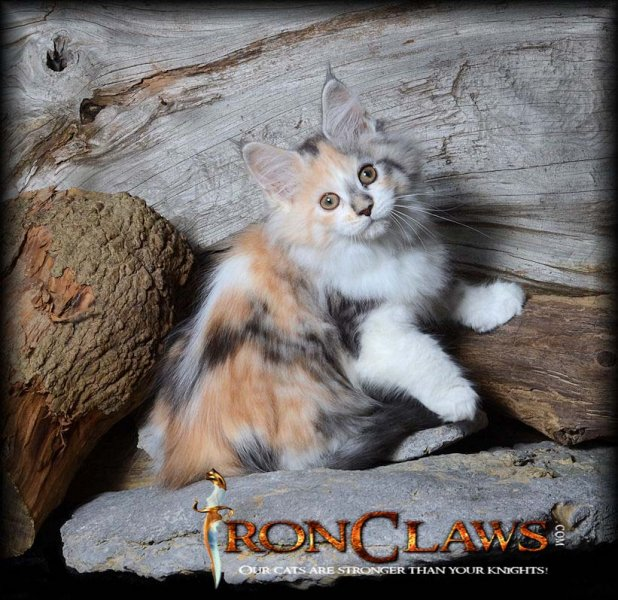 white-maine-coon-kitten-image-for-sale-canada-british-columbia