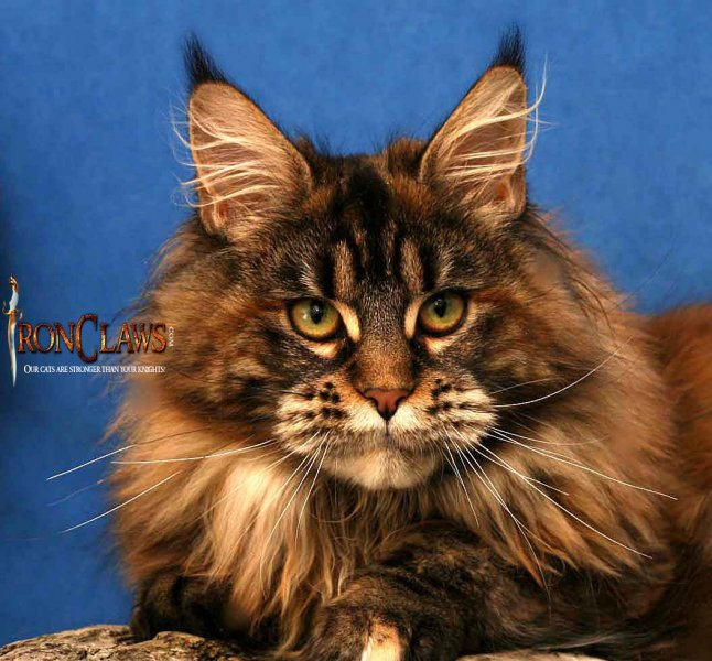 wild-looking-maine-coon-catfor-sale-image