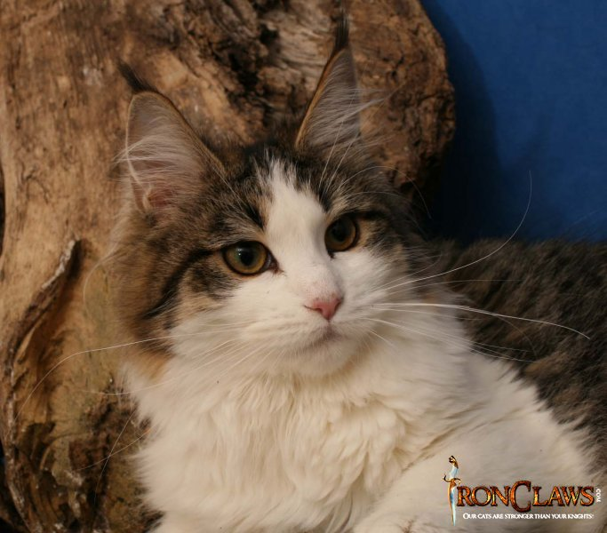 wild-looking-maine-coon