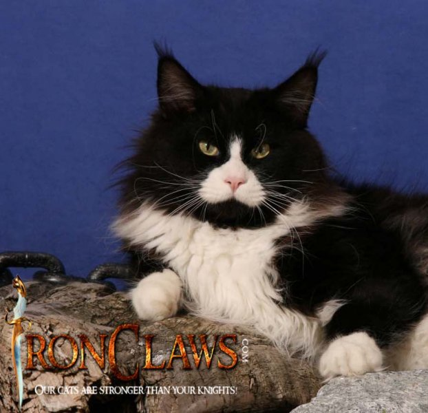 xxl-large-maine-coon-cat-kitten-image-for-adoption