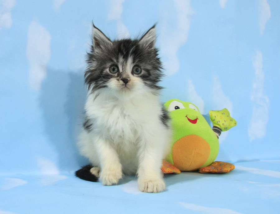 Maine coon kitten for sale ontario