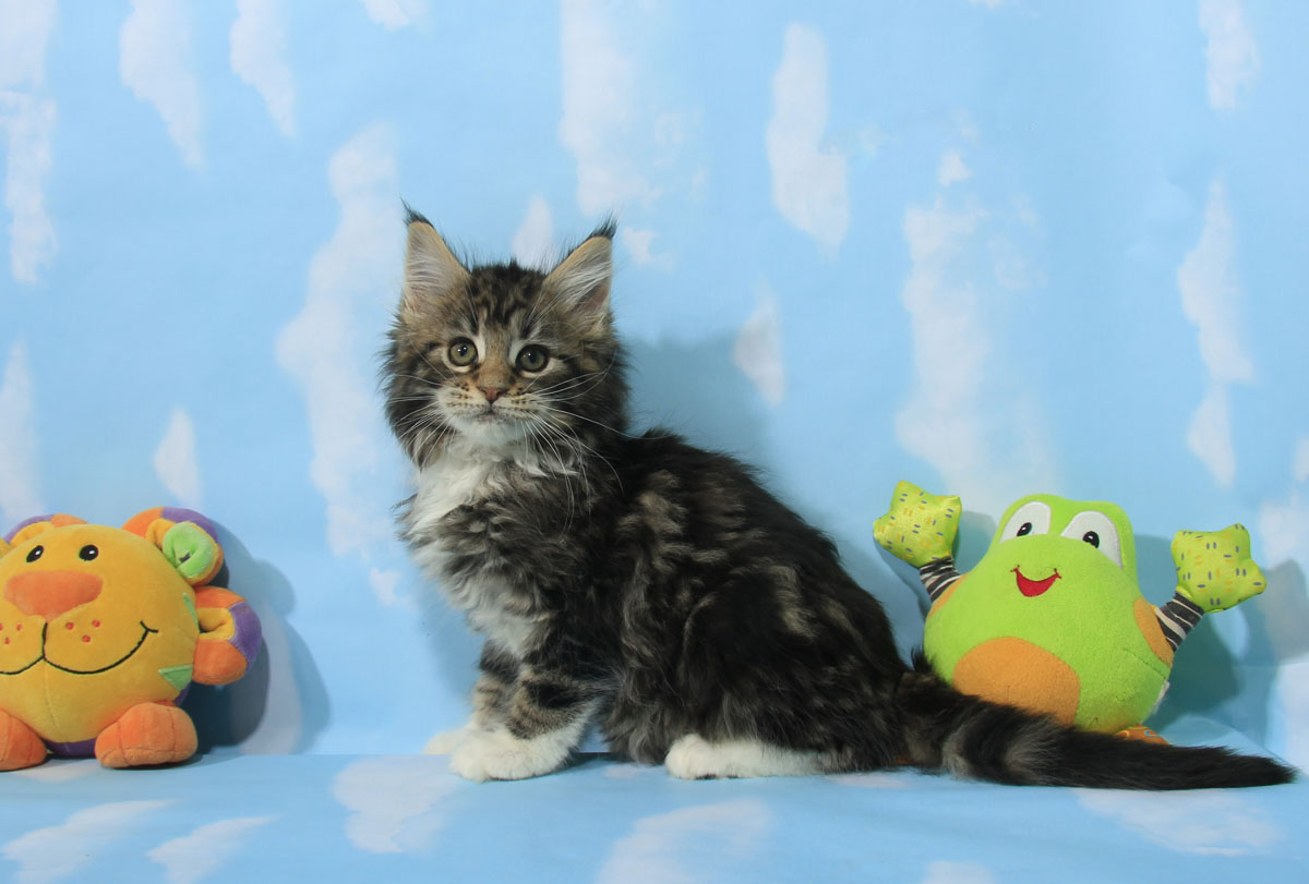 brownclassic maine coon kitten for sale  Ontario