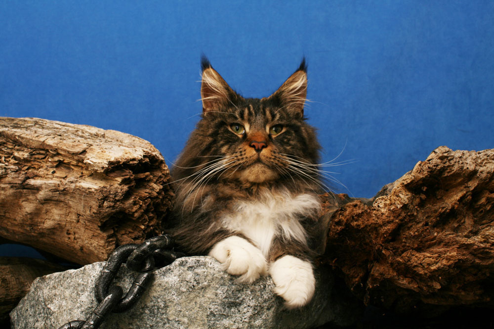 huge maine coon vancouver