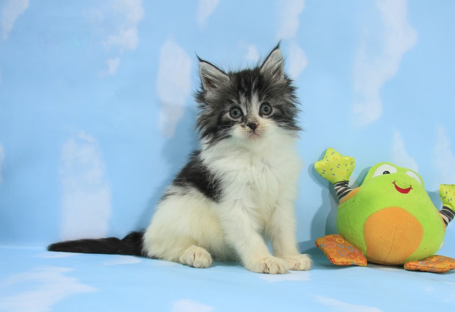 silver maine coon kitten